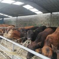 菏泽改良肉牛养殖基地 菏泽改良肉牛供应价格