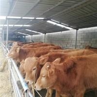 山东改良肉牛养殖基地 山东改良肉牛供应价格