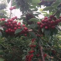 江西大樱桃树苗供应价格 江西大樱桃树苗培育基地