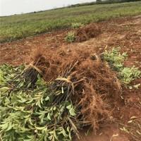 九江腊米树苗培育基地 九江腊米树苗供应价格
