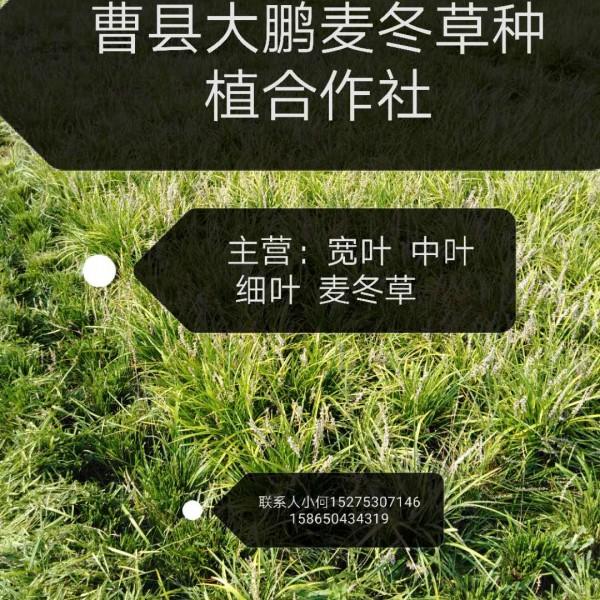 菏澤麥冬草合作社麥冬草價格種植基山東曹縣麥冬種植專業合作