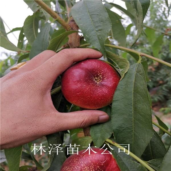 36-5油蟠桃苗报价价格表、7-7油蟠桃树苗亩产多少斤