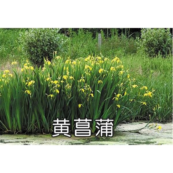 黄菖蒲鸢尾,溪荪鸢尾,紫花鸢尾
