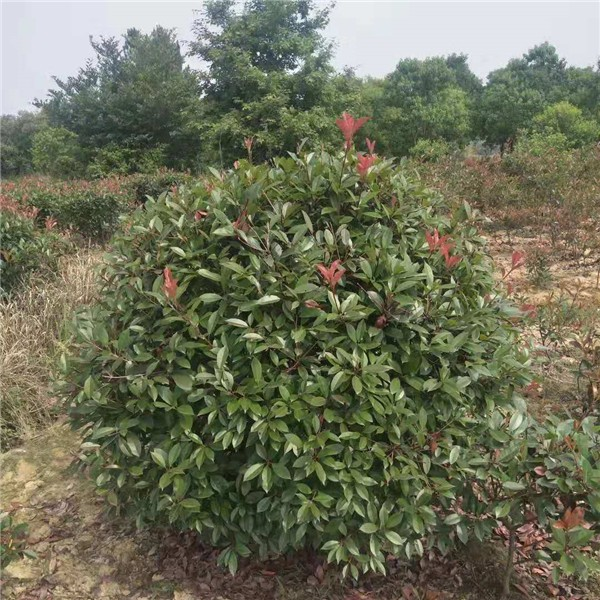 安徽红叶石楠球基地 安徽红叶石楠供应