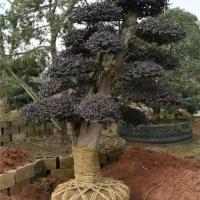 四川造型红花继木树苗育苗基地 四川造型红花继木树苗供应价格