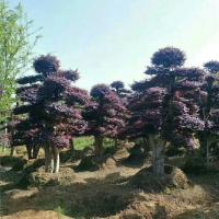 重庆造型红花继木树苗供应价格 重庆造型红花继木树苗育苗基地