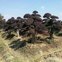 长沙造型红花继木树苗培育基地 长沙造型红花继木树苗施工养护