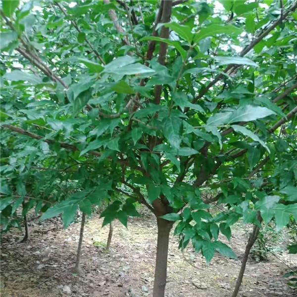 內蒙臘梅樹苗供應批發 湖南臘梅樹苗繁育基地
