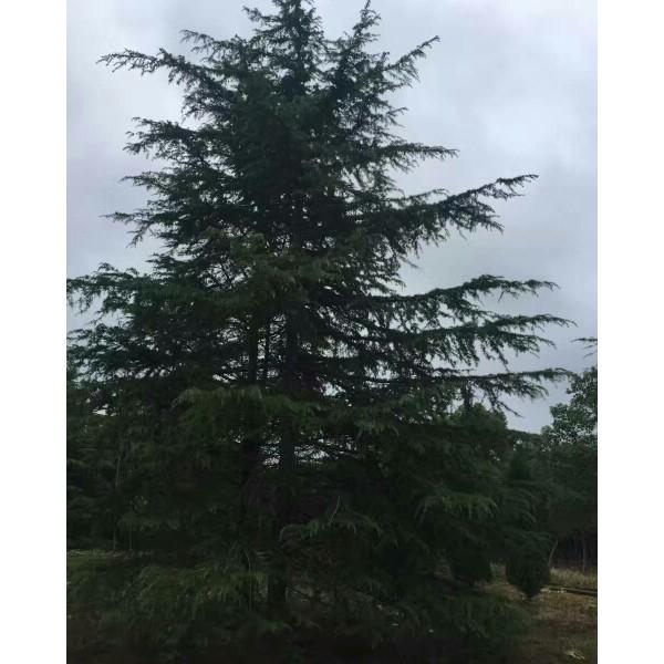 南京雪松3米苗基地,南京的雪松樹基地,大型南京雪松苗圃價格