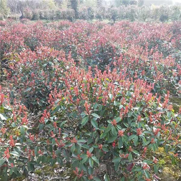 南京10-15公分红叶石楠树价格