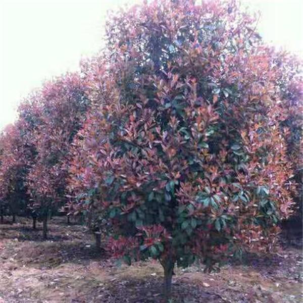 红叶石楠树整?#28065;?#21098;技术