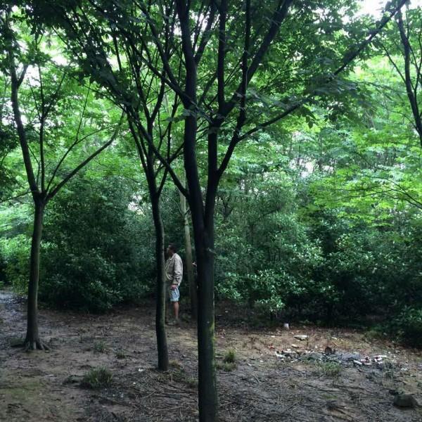 南京櫸樹苗培育基地,江蘇櫸樹苗供應價格