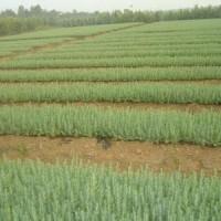 南京20公分-40公分雪松小苗種植基地 南京雪松小苗基地