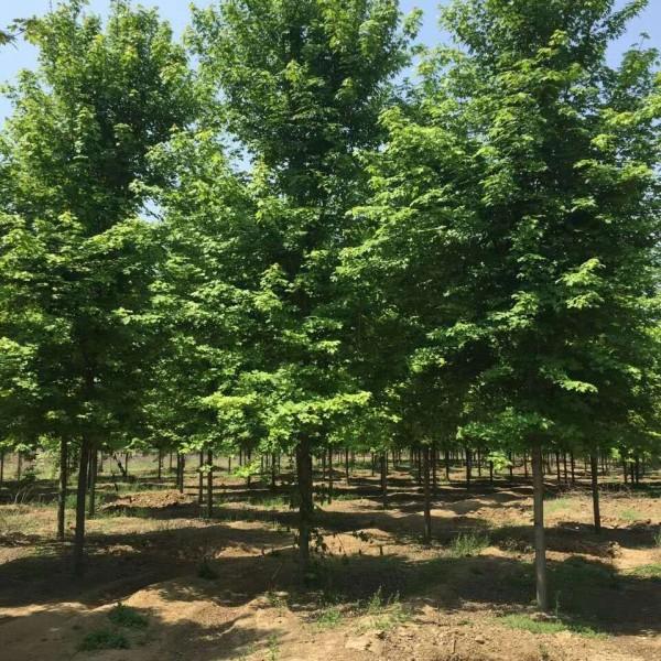 南京美國紅楓供應苗圃,江蘇美國紅楓苗批發價格