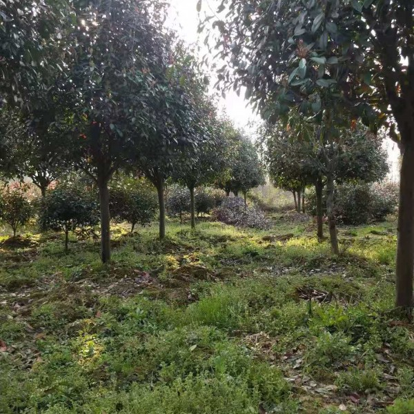 江蘇南京3-15公分紅葉石楠樹批發價格,南京紅葉石楠樹基地