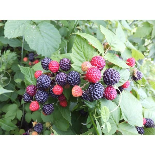 黑樹莓苗批發價格 黑樹莓苗供應基地