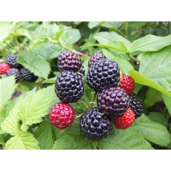 黑樹莓苗供應基地 黑樹莓苗批發價格