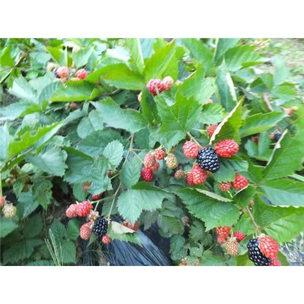黑莓樹苗批發價格 黑莓樹苗供應基地