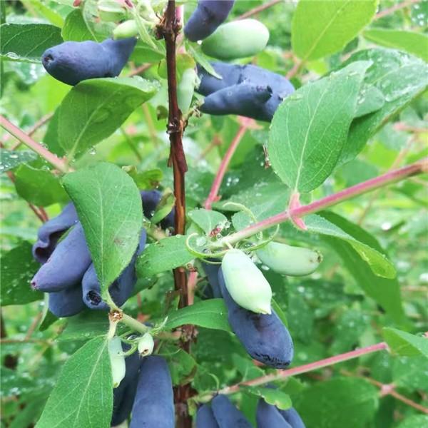 藍靛果苗批發價格 藍靛果苗供應基地