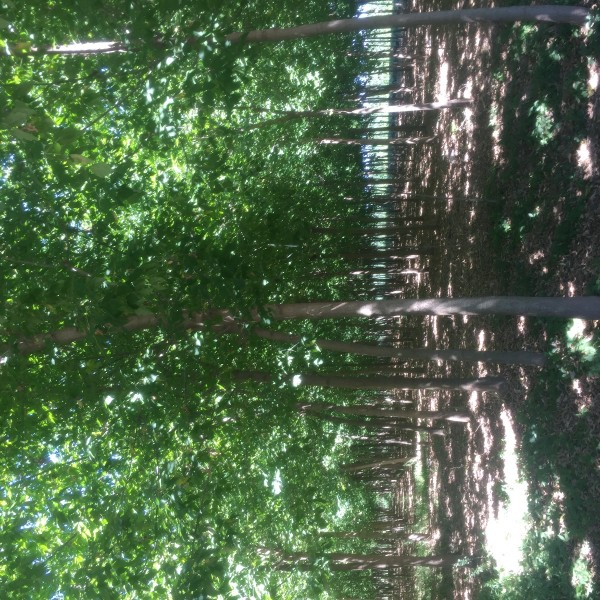 3—15公分金葉復葉槭大量供應