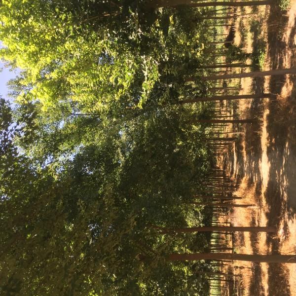 河南許昌永強苗木大量出售5——15公分三角楓
