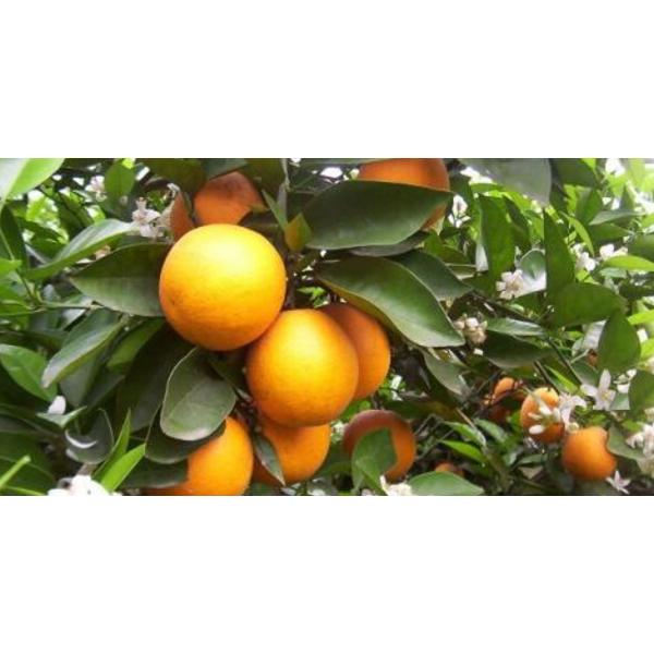 桂林哪里有夏橙苗批發