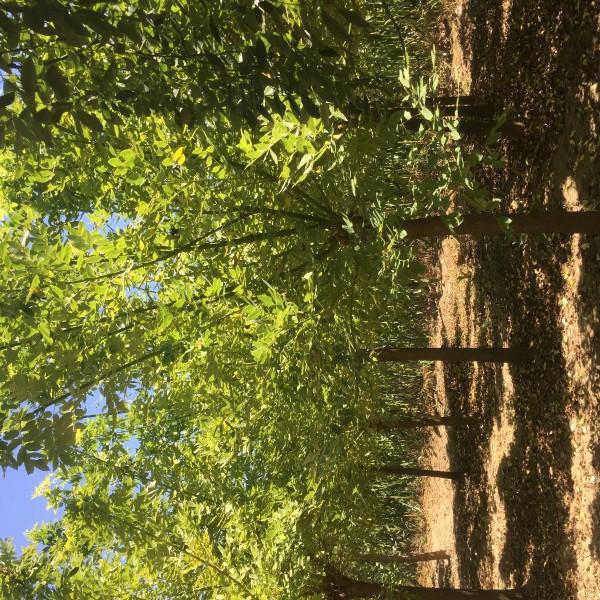 許昌鄢陵4—10公分矮接高接金枝槐永強苗木大量出售
