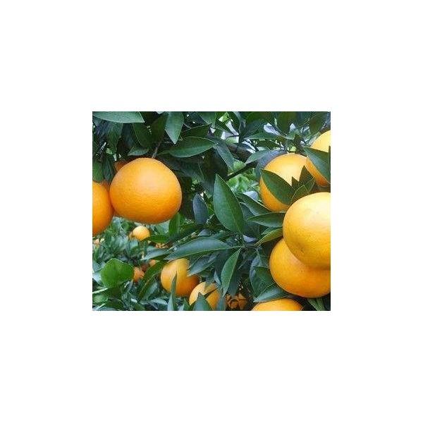賀州貢柑苗價格【賀州哪里有貢柑苗賣】賀州大量批發貢柑苗