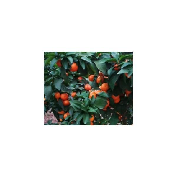 賀州香橙枮沃柑苗出售&賀州哪家香橙枮沃柑苗基地好