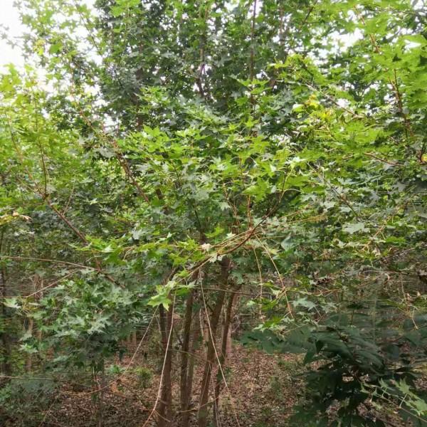 河南鄢陵叢生五角楓種植基地叢生五角楓價格優勢叢生五角楓