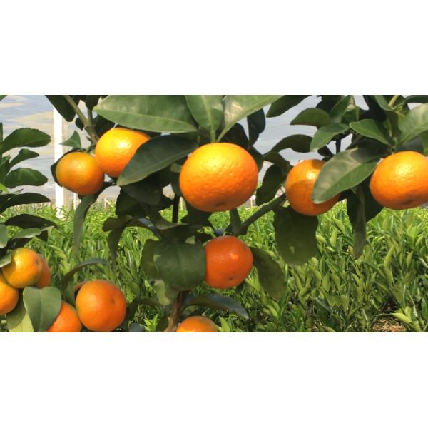 賀州哪里有金秋早熟砂糖橘苗供應