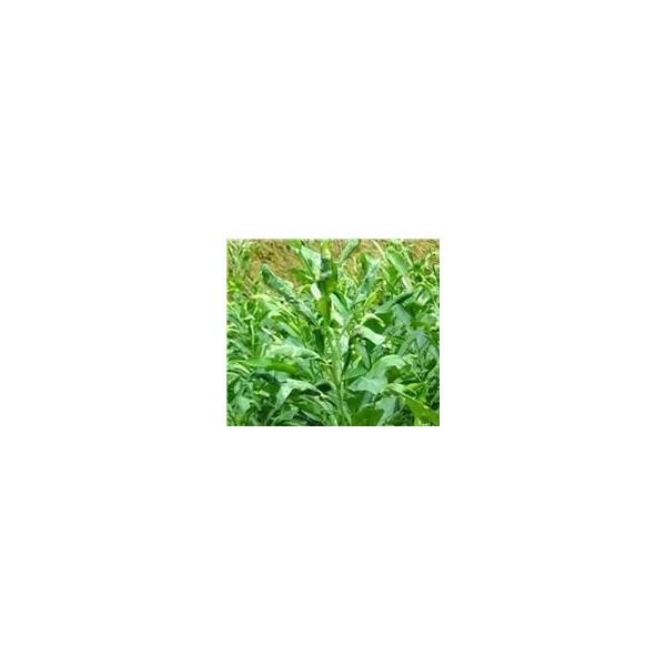 柳城哪里有新品種無籽沃柑種苗賣