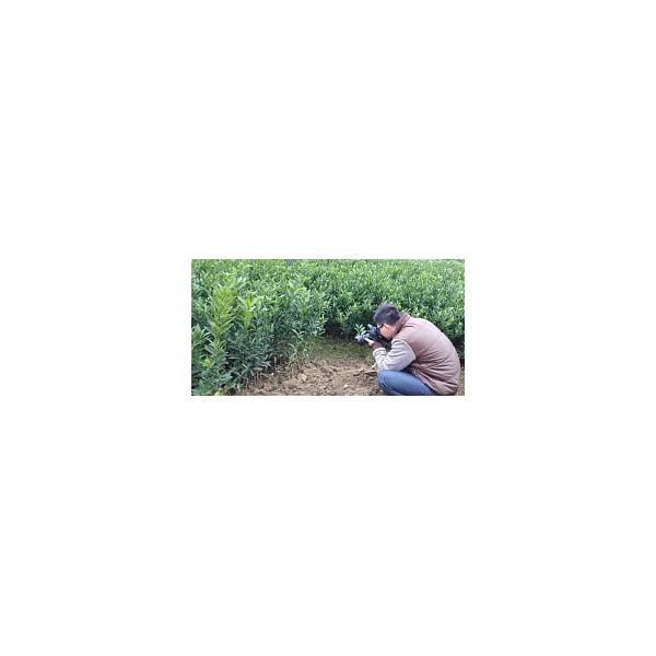 來賓供應大量茂谷柑杯苗