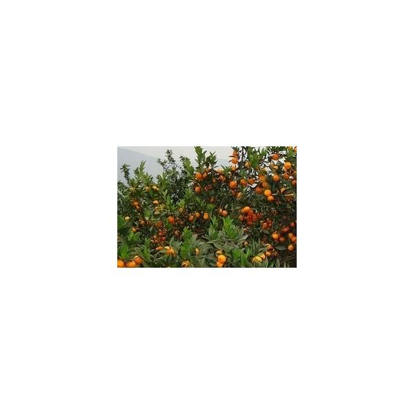 荔浦柑桔苗品种具体有哪些