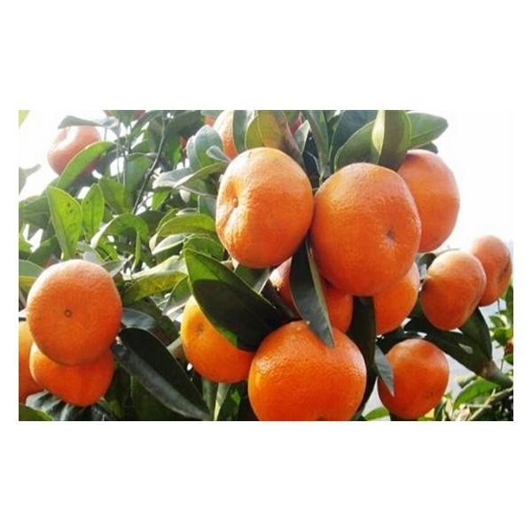 来宾哪里批发柑橘果苗