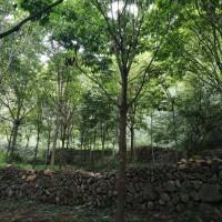 七叶树 树状月季 山茱萸 白皮松