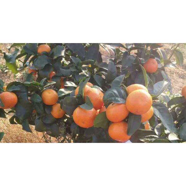 荔浦目前砂糖橘树苗批发价格多少