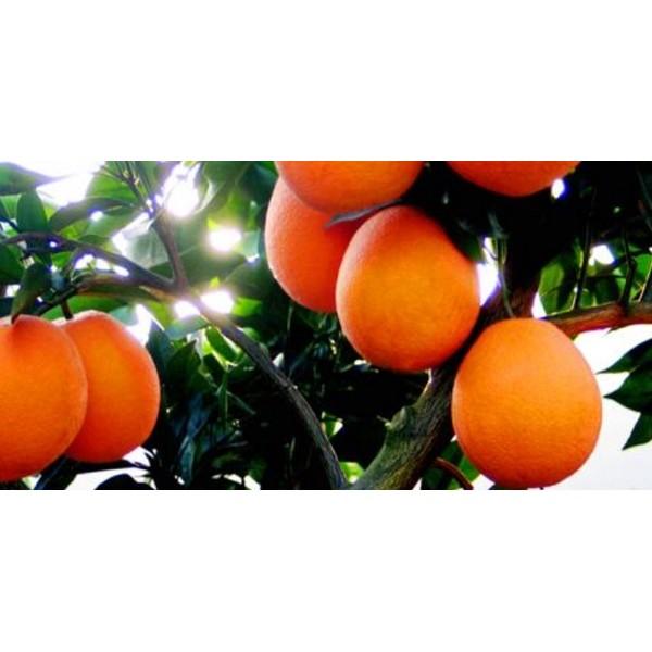 柳城哪里有柑橘苗基地