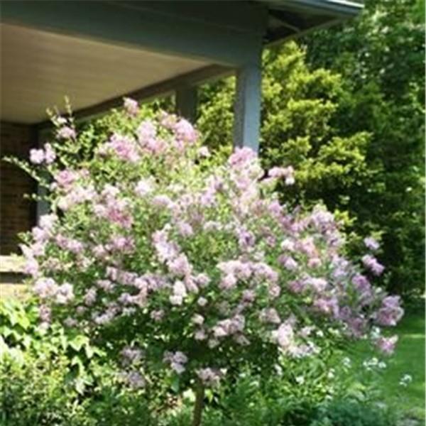 青海紫丁香树苗培育基地 青海紫丁香树苗求购价格