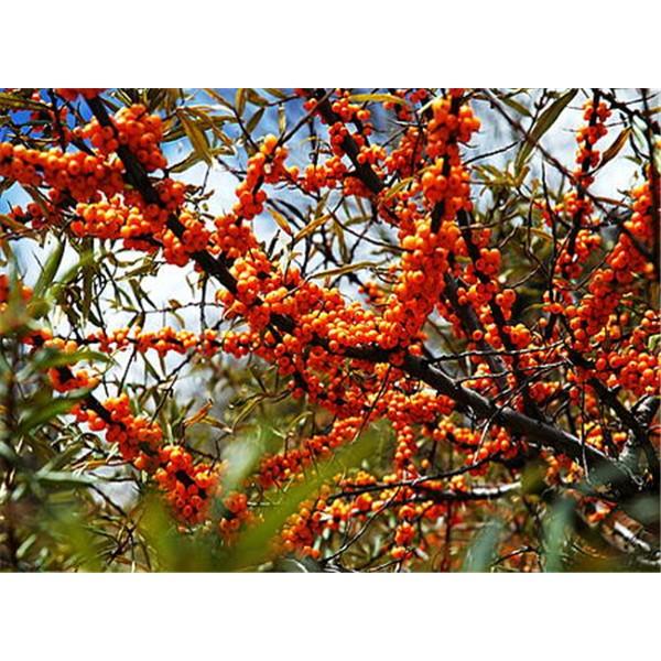青海沙棘树树苗培育基地 青海沙棘树树苗求购价格