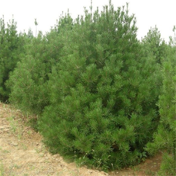 青海油松树苗求购价格 青海油松树苗培育基地