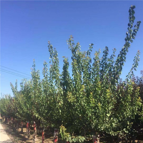 紅梅種植基地 紅梅批發價格