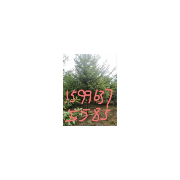 10公分娜塔櫟價格/娜塔櫟價格