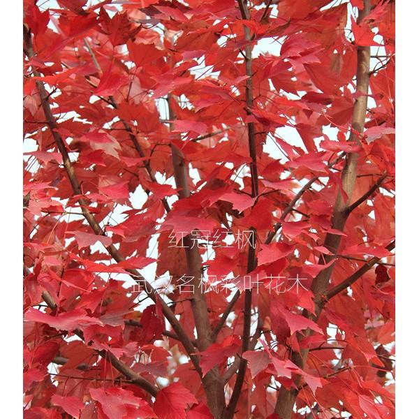 湖北紅冠紅楓批發價格 武漢紅冠紅楓供應基地