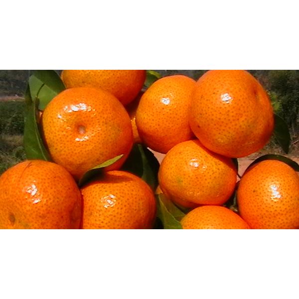 欽州明日見柑橘苗價格&欽州明日見柑橘苗價格多少錢一株
