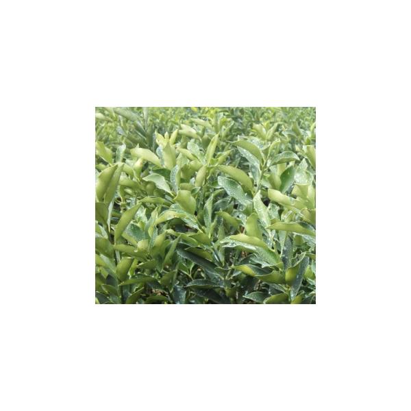 梧州金桔樹苗多少錢一顆