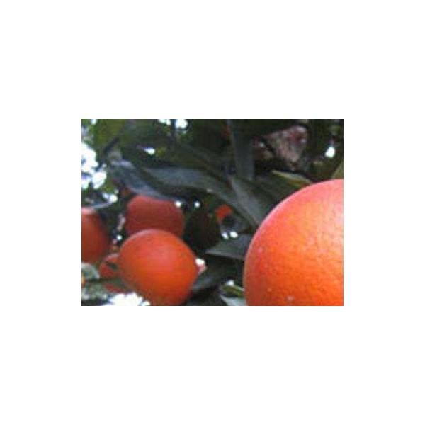 武鸣哪里有血橙苗卖