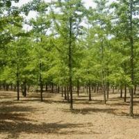 临沂银杏树批发报价 临沂工程美国红枫新品种价格