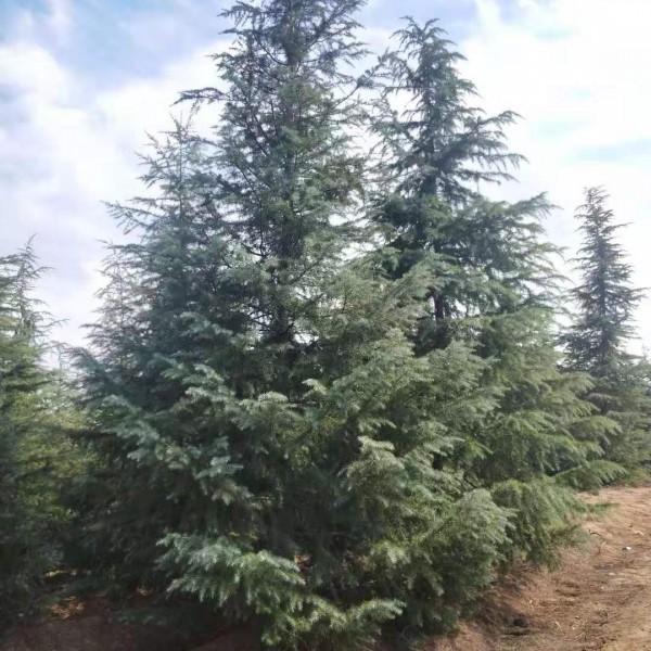 南京3-5米綠化雪松大樹基地/價格 南京綠化雪松樹