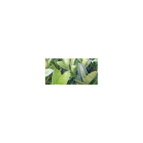 武宣哪里有改良茂谷柑樹苗出售